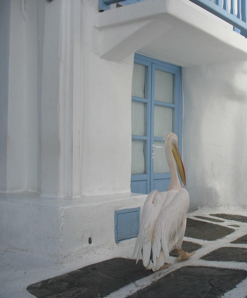 Pedro, das Maskottchen von Mykonos. Normalerweise ist er sich der Photographierenden bewußt ... nur mal gerade heute nicht.